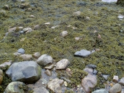 Bladderwrack (Fucus Spiralis) Grows High Up in the Intertidal Zone