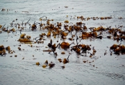 Kelp Bed, Very Low Tide, Midway Through the Harvest Process