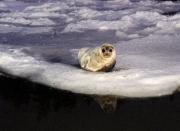 Seal Closeup